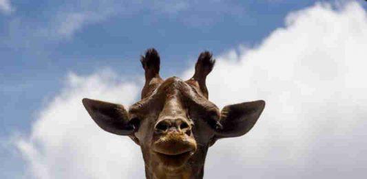 Yvelise, primeira girafa a nascer no zoológico de Brasília (Foto: Luiz Filipe Carneiro/FJZB )