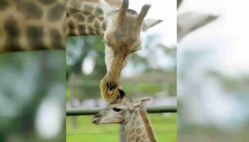 Após morte de elefante, girafa do Zoológico de Brasília apresenta problema de saúde