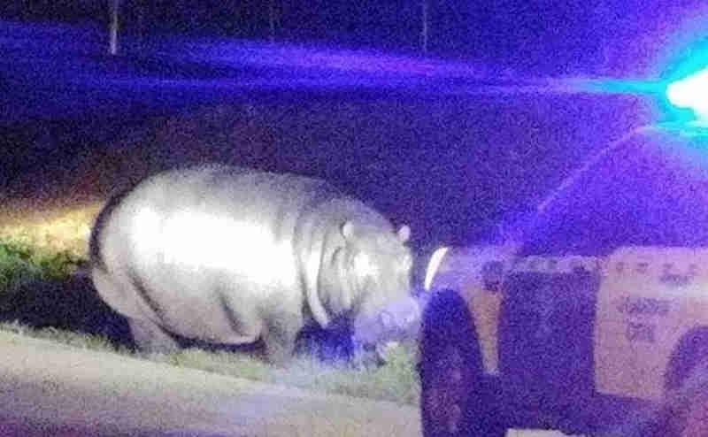 Hipopótamo fugido de circo andou à solta em aldeia de Badajoz, Espanha