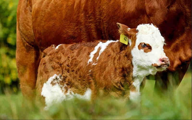Maior empresa de laticínios dos EUA encerra duas dúzias de contratos porque ninguém quer leite de vaca!
