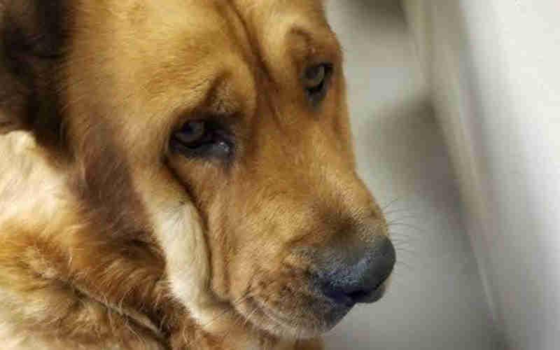 Cachorro com coração partido após perder seu tutor se recusa a parar de olhar para a parede