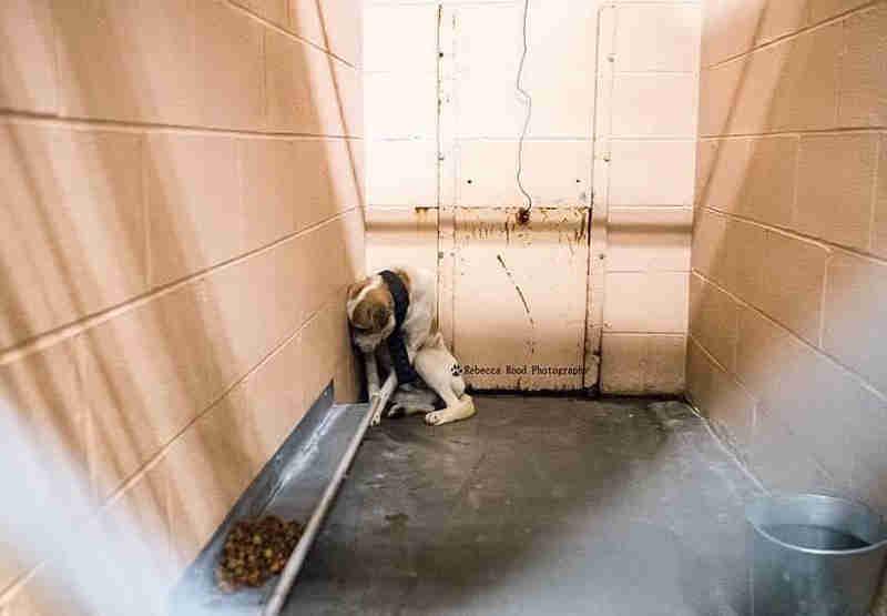 Cão encontrado acorrentado a uma árvore tem sérios problemas de confiança no abrigo, então pessoas bondosas o ajudaram…