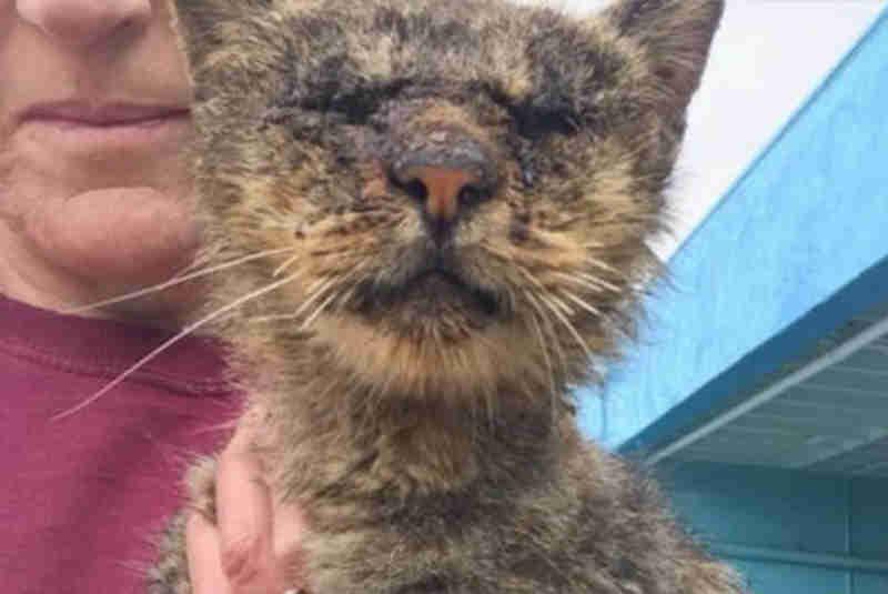 Gato com sarna e bem depauperado é resgatado e se transforma num animal saudável