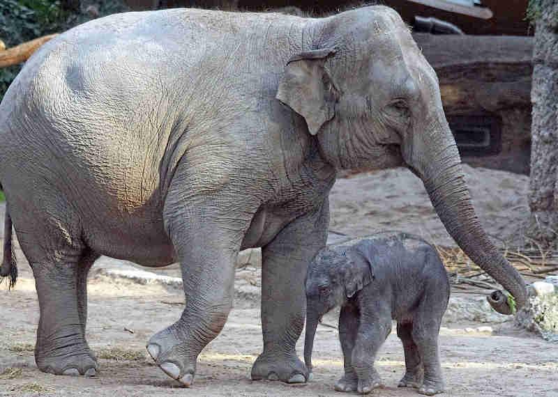 Elefantes jovens estão morrendo devido à reprodução irresponsável no Zoológico de St. Louis – Como você pode ajudar a acabar com isto