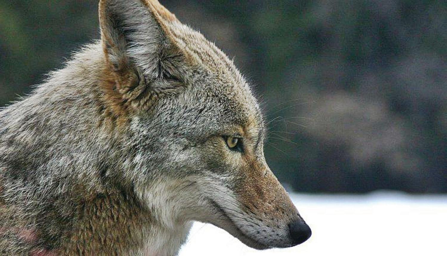 EUA: Proibição de competições de caça a coiotes em Vermont avança após longo debate