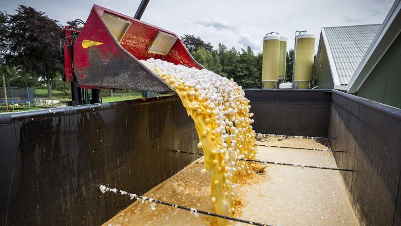 Milhares de galinhas são sacrificadas por causa da crise dos ovos contaminados