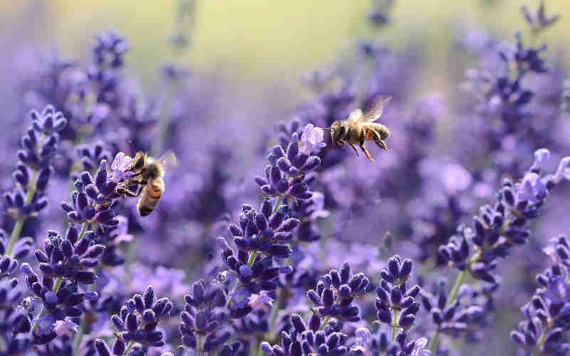Após estudo inovador, a UE pressiona a proibição de pesticida que prejudica as abelhas