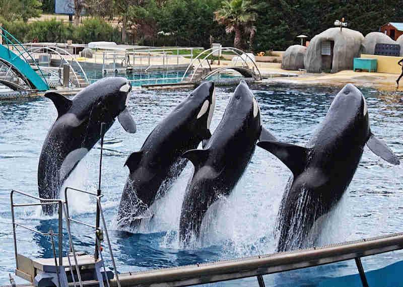 Por que treinar uma orca para imitar a fala humana é cruel