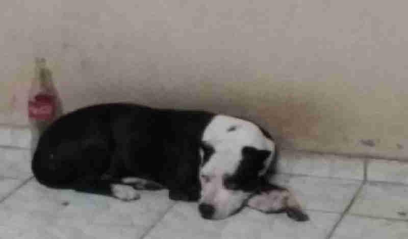Secretaria Municipal de Saúde de Goiânia (GO) desmente que cadela pode ser sacrificada