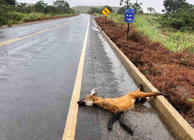 Imprudência de condutores e falta de sinalização contribuem para o aumento no número de mortes de diversas espécies em rodovias. (Foto: Fernando Tatagiba/Parque Nacional Chapada dos Veadeiros)