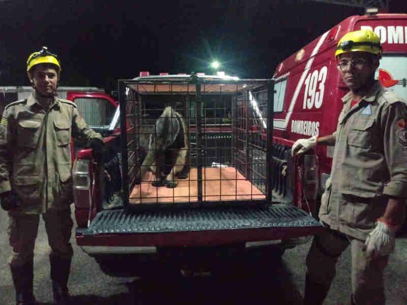 Bombeiros resgatam tamanduá-bandeira escondido dentro de residência, em Minaçu, GO