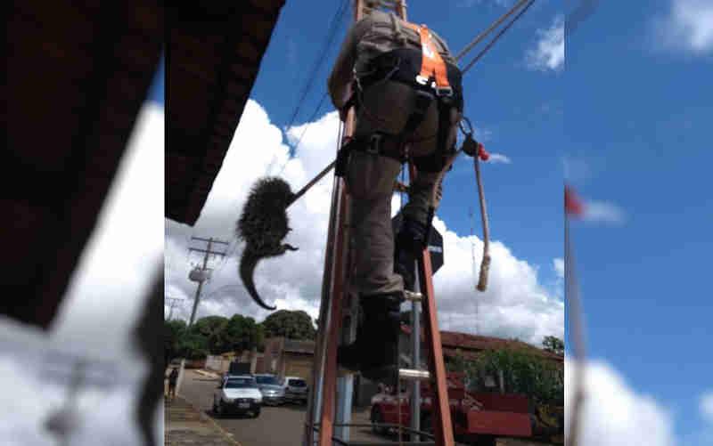 Ouriço é resgatado em poste de energia elétrica em Silvânia, GO