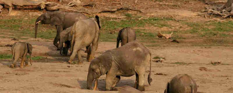 Gabão equipa elefantes com GPS para combater a caça furtiva