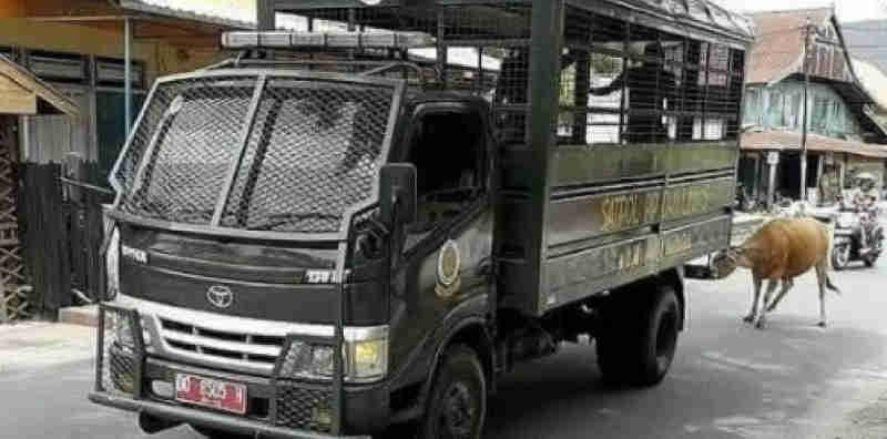 Vaca é amarrada e arrastada por policiais na Indonésia