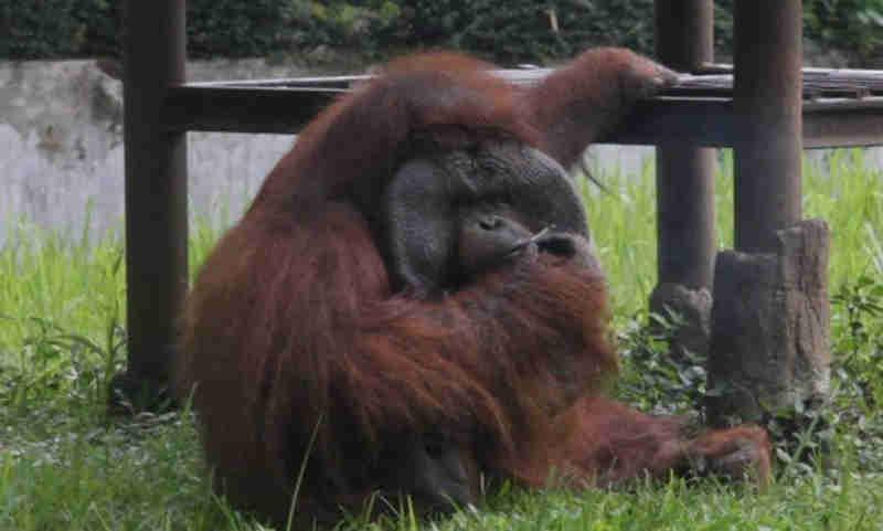 Vídeo flagra orangotango tragando cigarro em zoológico