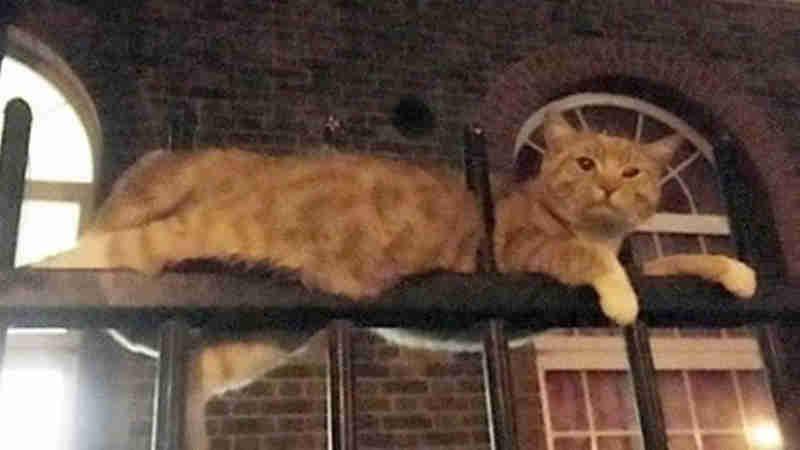 Gato tem duas barras de ferro cravadas no corpo e sobrevive