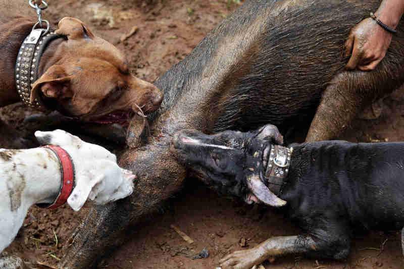 Estão são as imagens chocantes de lutas mortais horríveis entre pitbulls e javalis. (Imagens: Caters News Agency)