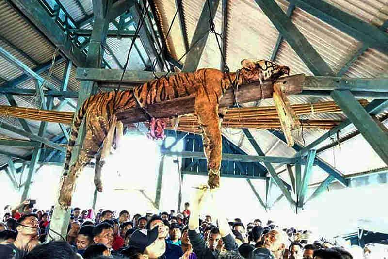 Tigre é morto e amarrado em tábua de madeira em aldeia da Indonésia