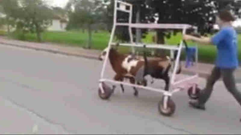 As patas desta vaquinha ficaram paralisadas devido à negligência… Então, seus resgatistas fizeram a coisa mais doce para ajudá-la a correr!