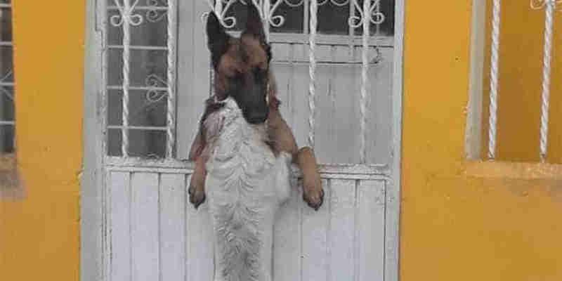 Cão fica com a cabeça presa em grade e recebe uma 'patinha' amiga para se libertar; vídeo