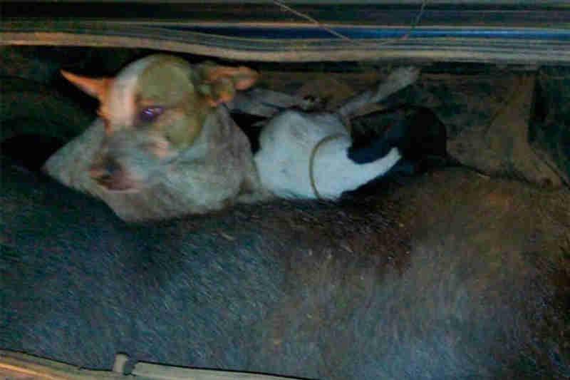 Polícia encontra dois cães vivos e um javaporco morto em porta-malas de veículo