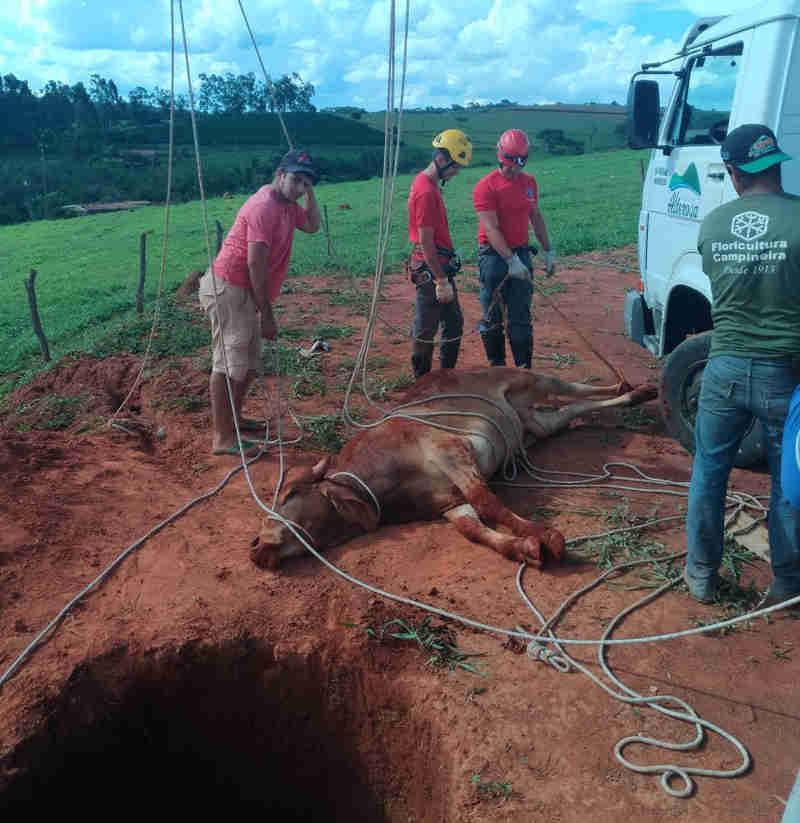 Bombeiros resgatam boi de meia tonelada que caiu em fossa em Alterosa, MG