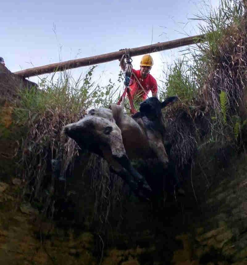 Bezerro é resgatado após cair em silo de 7 metros em Barbacena, MG