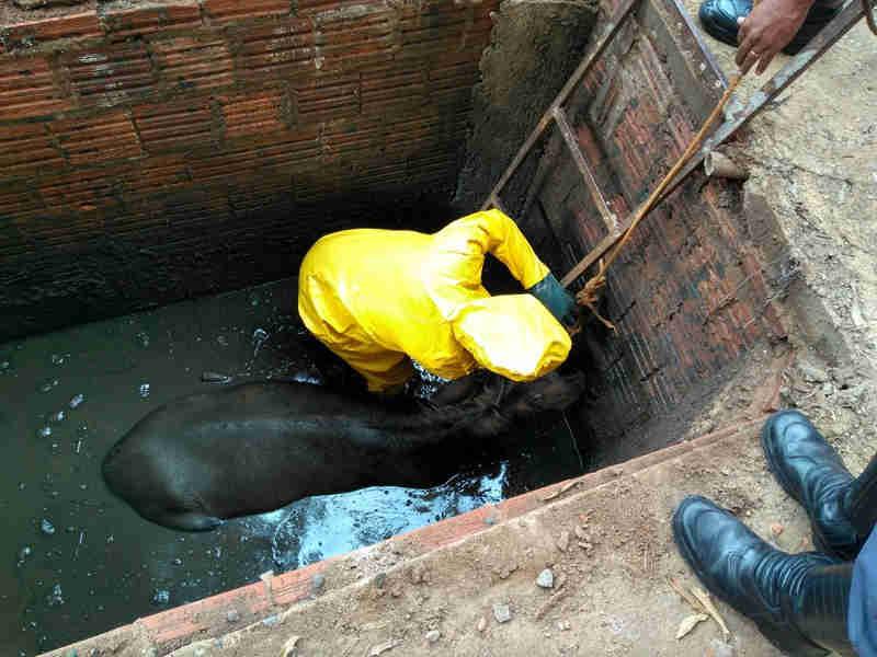 Animal caiu fossa e precisou ser resgatado pelos Bombeiros (Foto: Corpo de Bombeiros/Divulgação)