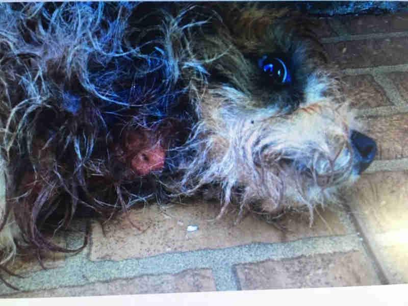 Após denúncia, ONG de Nova Alvorada do Sul (MS) resgata cão vitima de maus-tratos