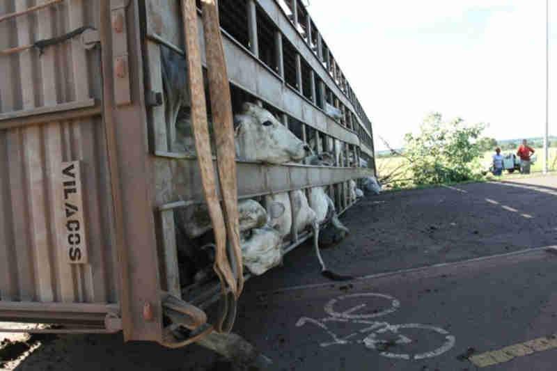 Caminhão com boiada tomba e 'fila' se forma para 'carnear' animais