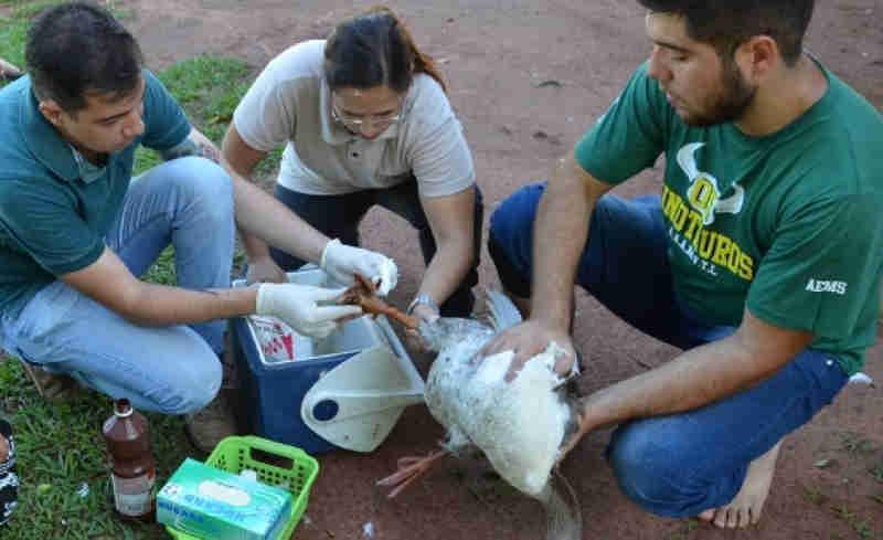 Gansos ficam feridos e suspeita é que foram atacados por jacarés em Três Lagoas, MS