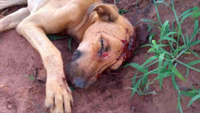 Homem embriagado tenta matar cão com golpes de enxada