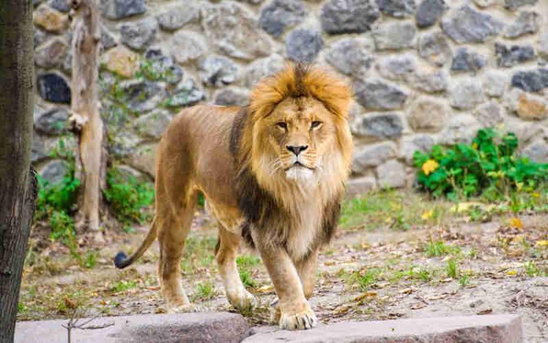 Funcionário de zoológico é morto por leão após se esquecer de trancar jaula
