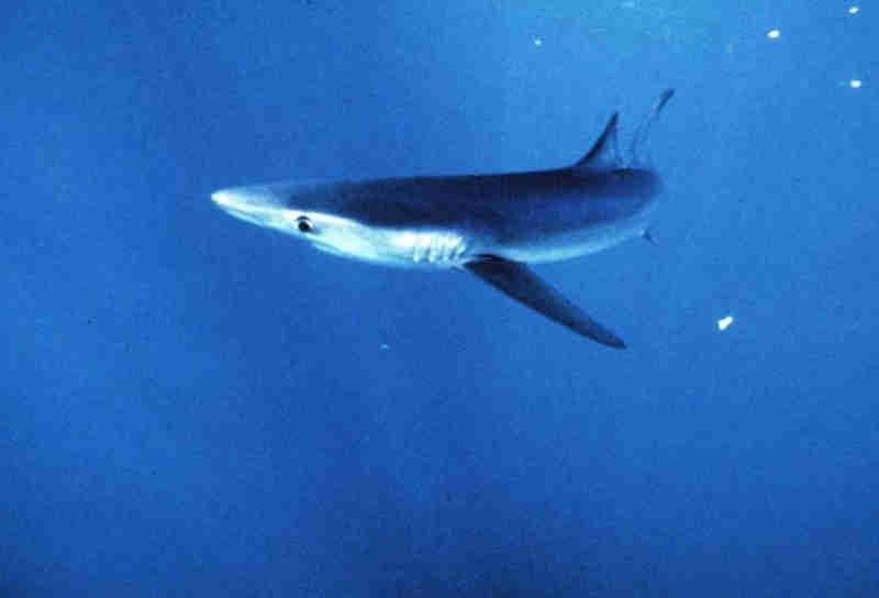 Ilhas Samoa criam santuário para ajudar a preservar tubarões