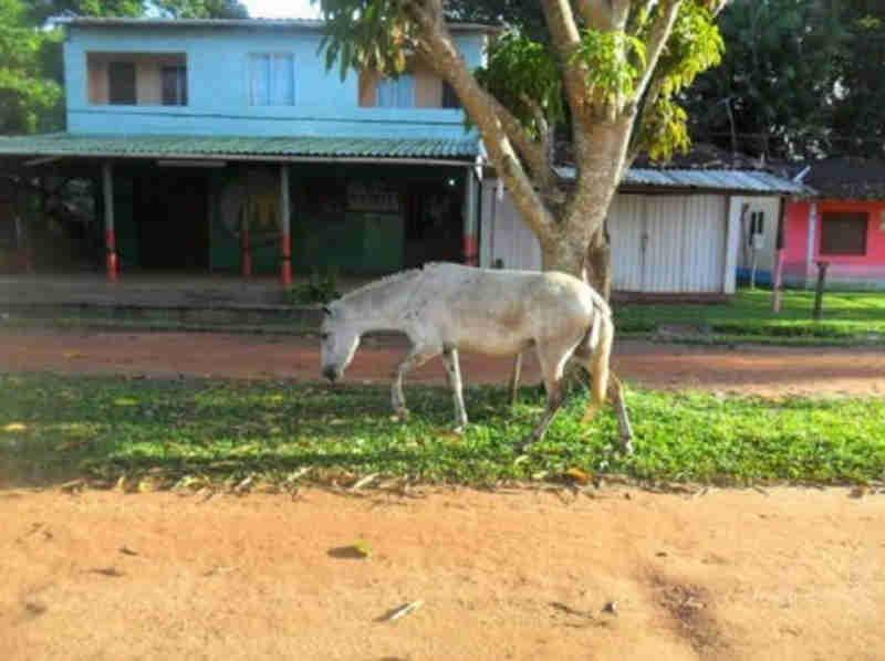 MP denuncia maus-tratos e pede suspensão de tração animal na ilha de Cotijuba, em Belém, PA