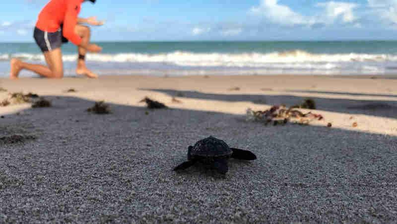 Mais de 40 tartarugas marinhas nascem na Praia do Bessa, em João Pessoa, PB