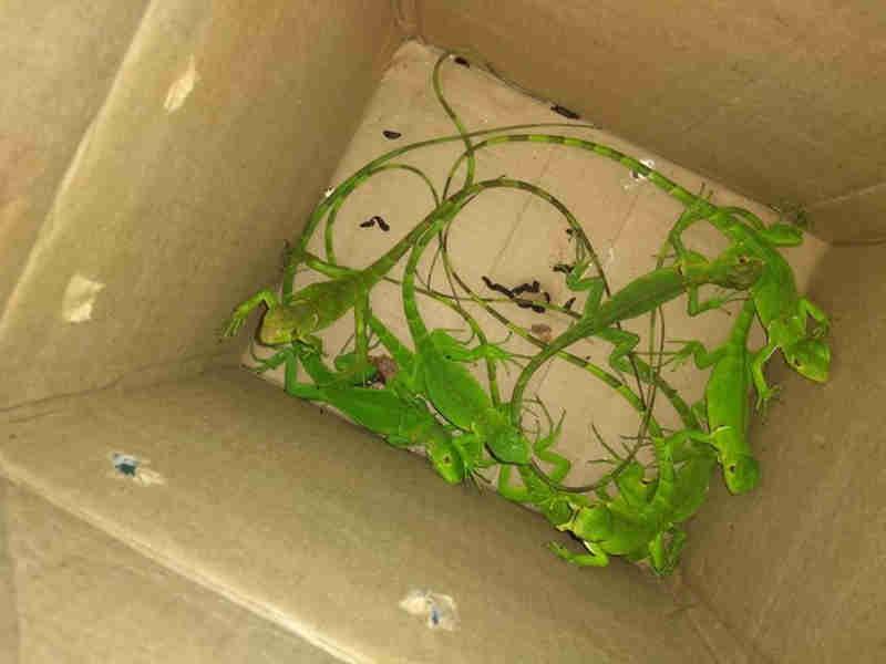 Iguanas foram encontradas em caixas de papelão em San Martin, na Zona Oeste do Recife. (Foto: Agência Pernambucana de Meio Ambiente/Divulgação)