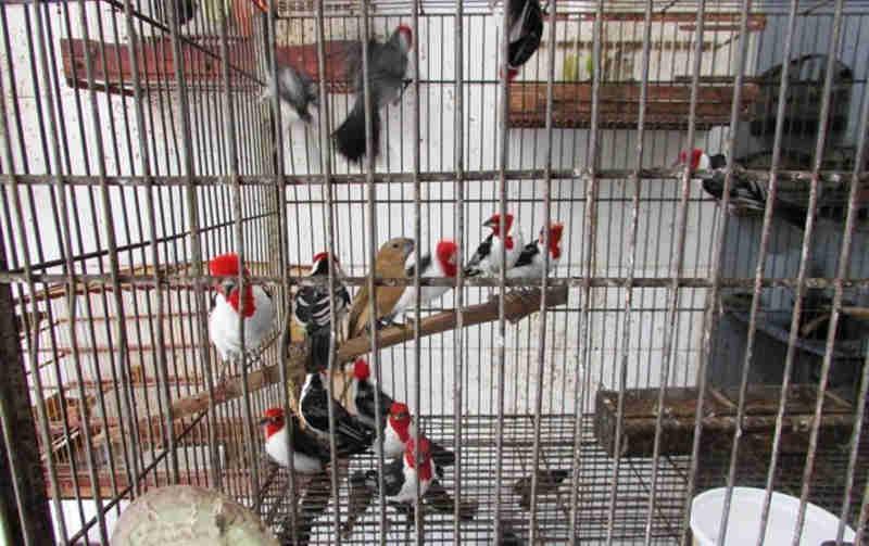 Cetas Tangara em Recife (PE) acolhe 158 aves repatriadas de São Paulo