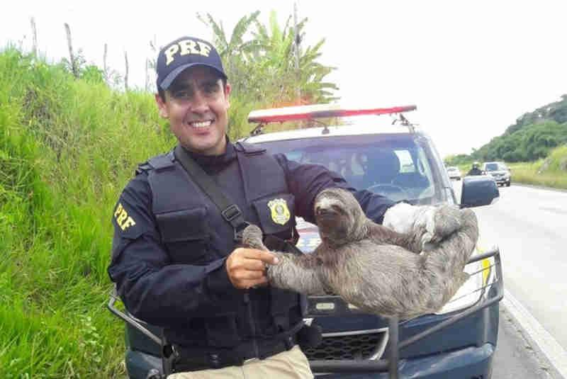 Bicho-preguiça 'posa' para foto ao ser resgatado pela PRF no Grande Recife, PE