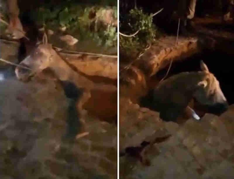 Vídeo mostra resgate de cavalo que caiu em buraco durante chuva em Teresina, PI