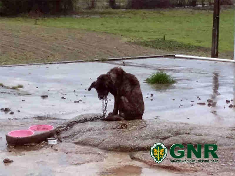 Cão com ferimentos profundos no pescoço e subnutrido é resgatado; tutora é identificada em Viseu, Portugal