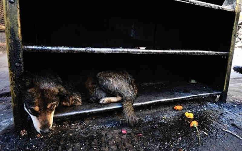 38 cães retirados de uma habitação de Vila Franca de Xira, em Lisboa, Portugal