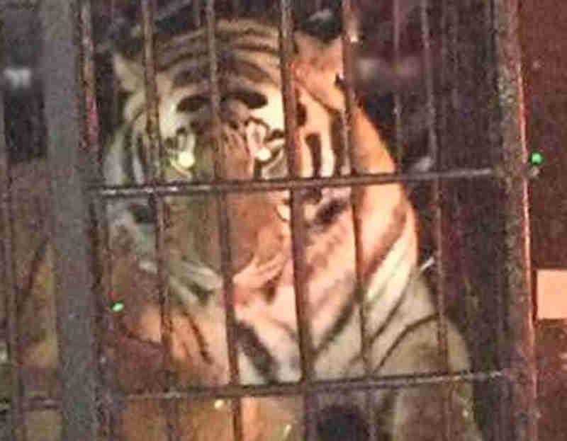 MPPR investiga presença de tigre e cobra em balada em Curitiba. Veja vídeo