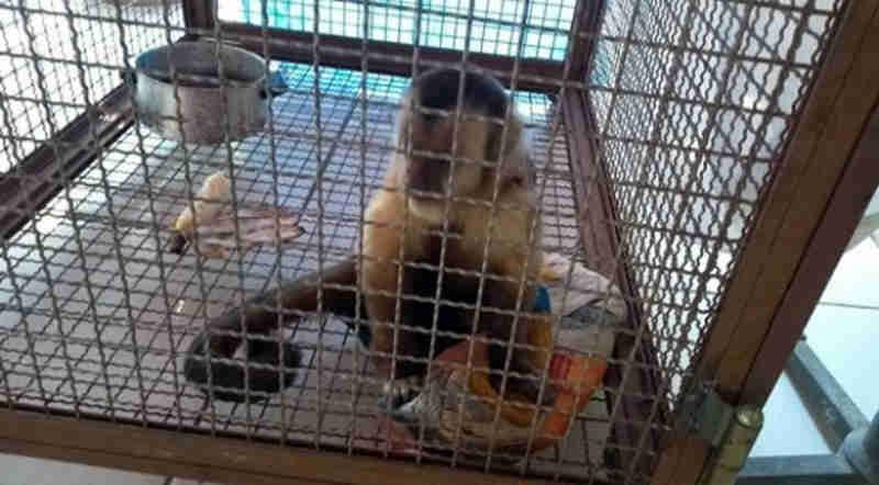 Macaco morde pessoa e é recolhido com sinais de maus-tratos em Umuarama, PR