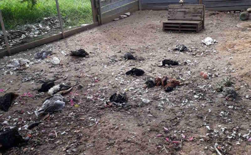 Mais de 50 frangos têm corações arrancados em Curitiba (PR) e caso intriga moradores