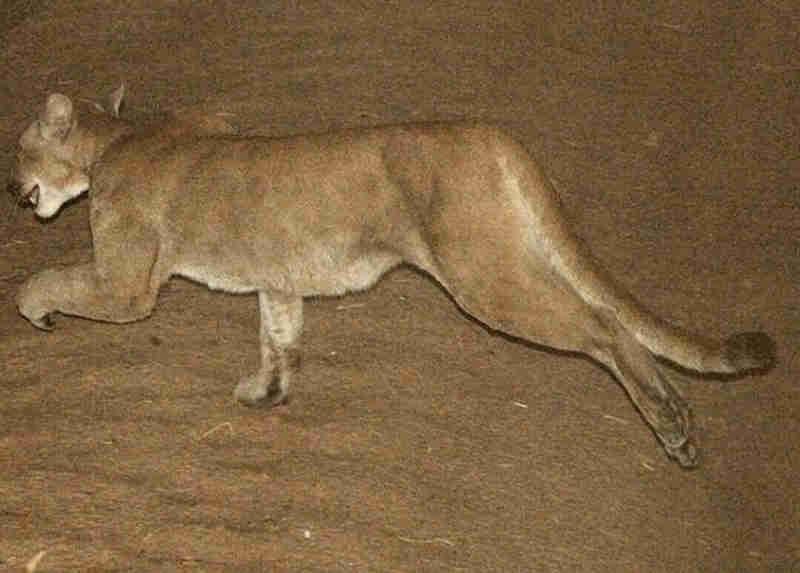 Paraguai: Puma solto em Ciudad del Este; animal ainda não foi capturado