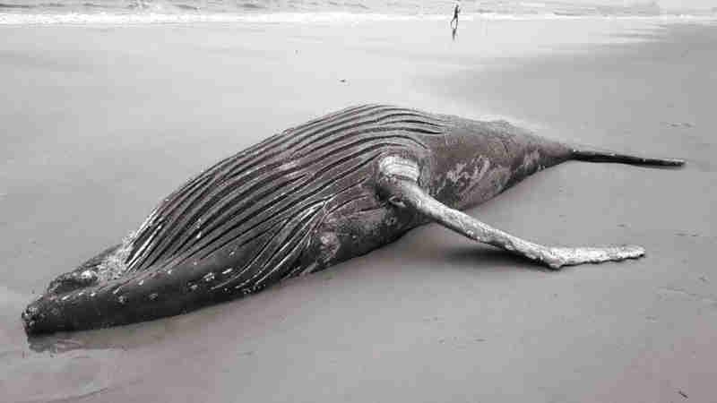 Baleia-jubarte morta encalha em praia de Matinhos, PR