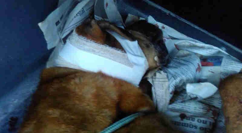 Guardas municipais socorrem cachorro ferido com disparo em São José dos Pinhais, PR