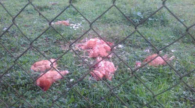 Morte misteriosa de animais intriga moradores de São José dos Pinhais, PR