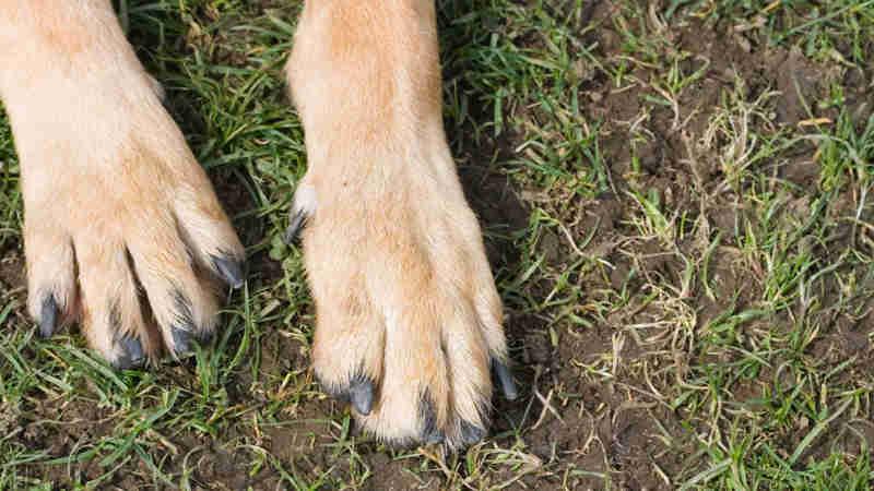Tinha cão com 'ferimentos profundos' devido a corrente estranguladora
